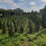 EDEN Producent Drzewek Ozdobnych